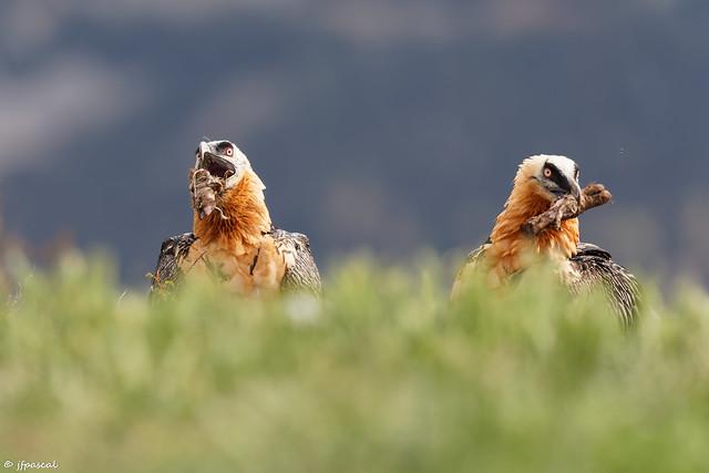 Gypaète barbu (Gypaetus barbatus) - Bearded Vulture
