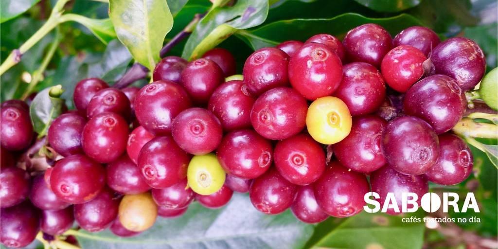 Granos de café en Cafeto