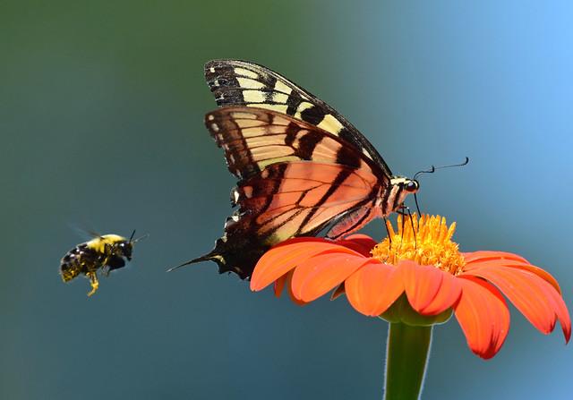 810_2501. Tiger Swallowtail and his wingman