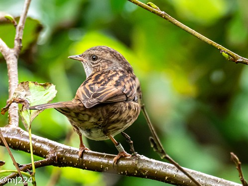 Today's Dunnock | by dudutrois