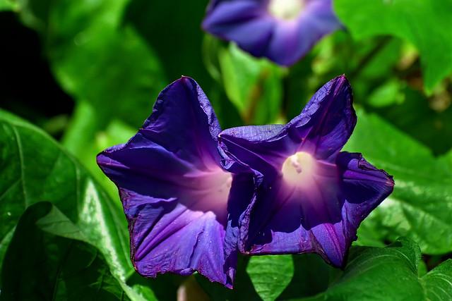 Morning Glory Prachtwinde Ipomoea purpurea