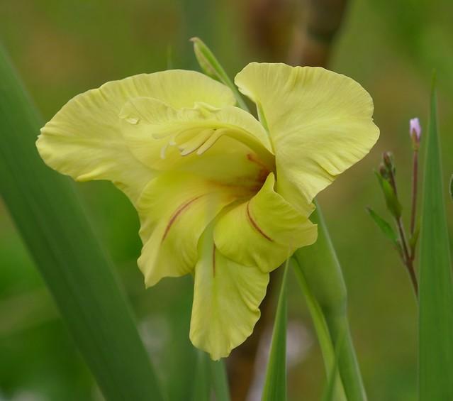 Au jardin, glaïeul (Gladiolus Ovatie), (Bosdarros, Béarn, Pyrénées Atlantiques, Nouvelle-Aquitaine, France.