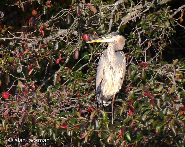 Great Blue Heron, Birds of John Heinz Wildlife Refuge