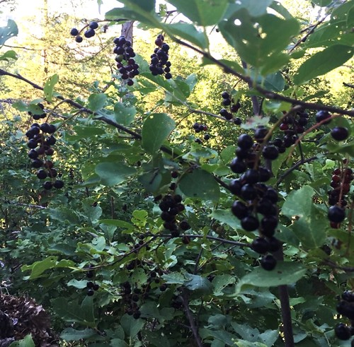 Thu, 09/26/2019 - 10:13 - Eastern chokeberry fruit
