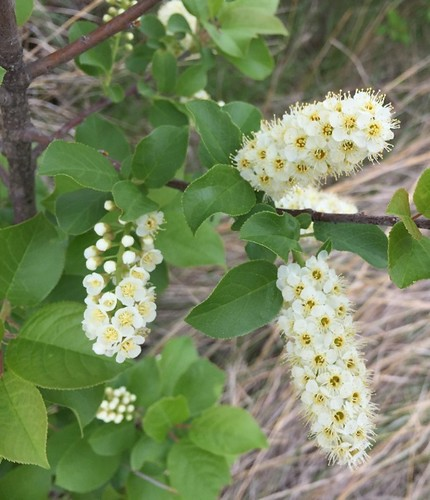 Thu, 09/26/2019 - 10:13 - Eastern chokeberry flowers