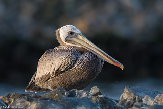 CA3I1218-Brown Pelican