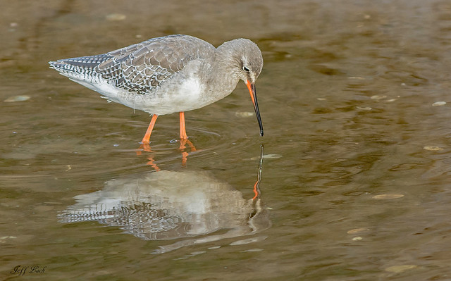 JWL1226  Spotted Redshank...