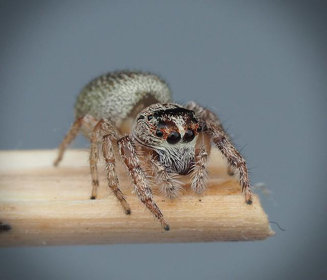 Cyclopes jumping spider