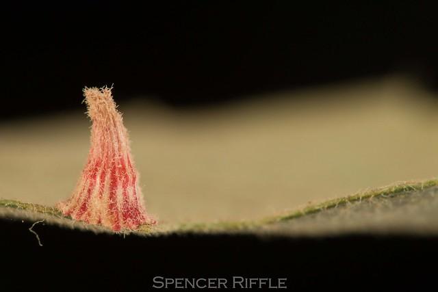 Striped Volcano Gall Wasp (Andricus atrimentus)