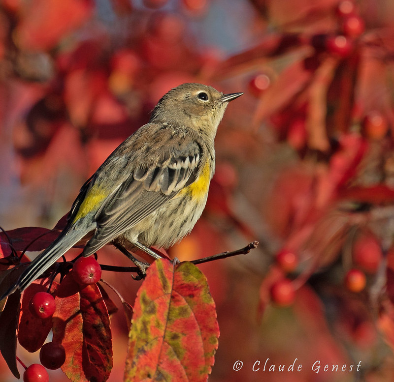Paruline à croupion jaune ( plumage hivernal) 48800347897_1c16d4e0df_c