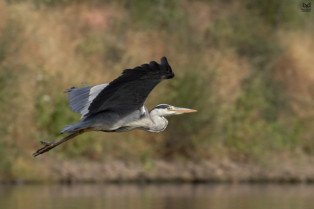Garça-Real, Grey Heron(Ardea cinerea)