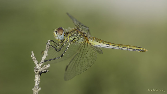 Sympetrum fonscolombii. Adult female