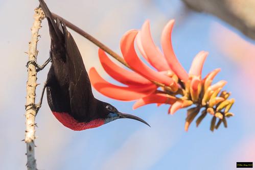 chalcomitrasenegalensisgutturalis chalcomitrasenegalensis chalcomitra senegalensis gutturalis scarletchestedsunbird scarletchested sunbird male krugernationalpark kruger southafrica leastconcern