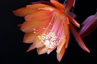 Orange Phyllo  cactus flower