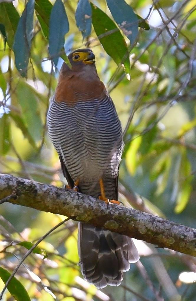 Falcão-caburé / Barred Forest-Falcon