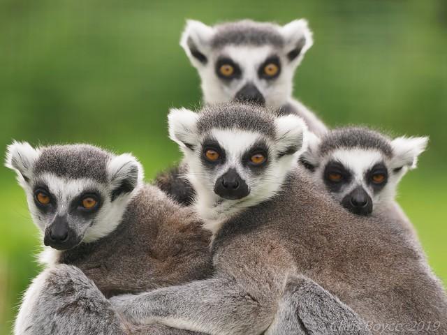 Ringtail Lemurs - P9260901