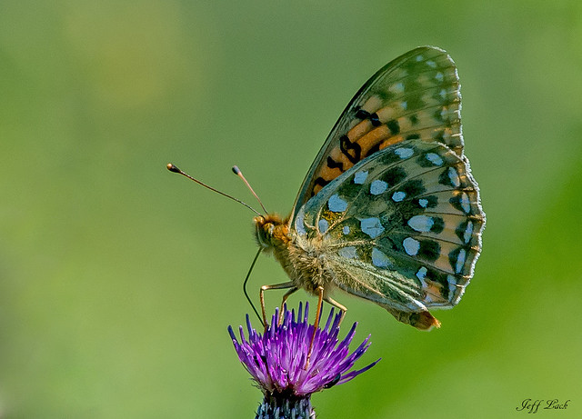 JWL7518  Dark Green Fritillary..