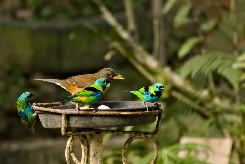 White-necked thrush and green-headed tanagers / Sabiá-coleira e saíras-sete-cores (Turdus albicollis and Tangara seledon)