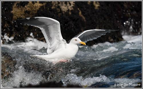 larusoccidentalis pointlobosstatenaturalreserve westerngull bird gull wildlife carmel california unitedstatesofamerica