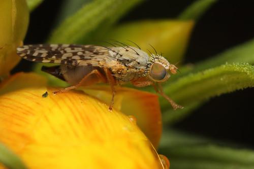 Bathurst Burr Fly (Euaresta sp.)