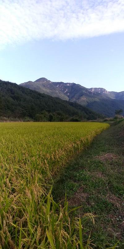 황금빛 가을빛 사이로 걷는 논두렁 산책길