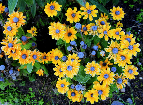 Yellow flowers and blue buttons. | by irio.jyske