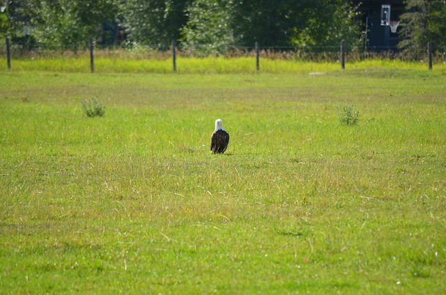Bald Eagle In A Field