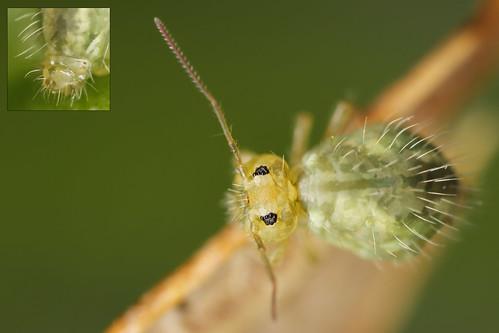 Sminthurus viridis ssp cinereoviridis juvenile
