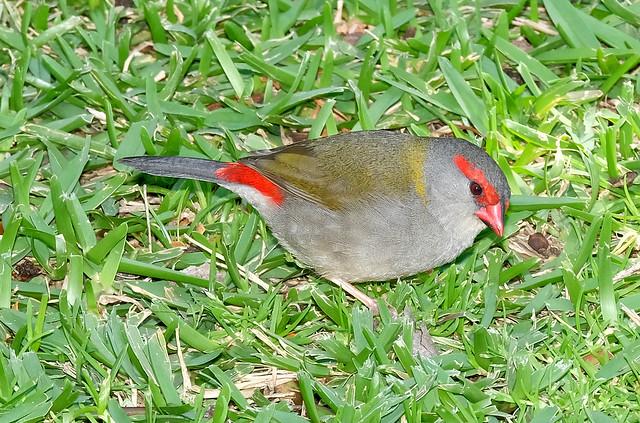 Red-Browed Finch (male) - Pokolbin, Hunter Valley, NSW, Australia