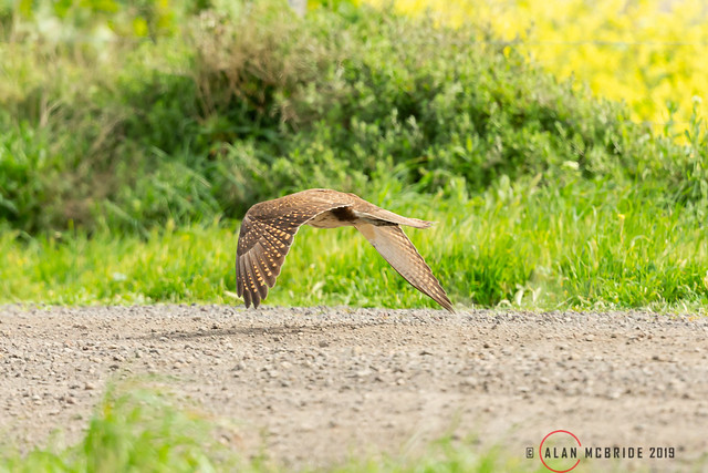 Brown Falcon low level 1DX30575.jpg