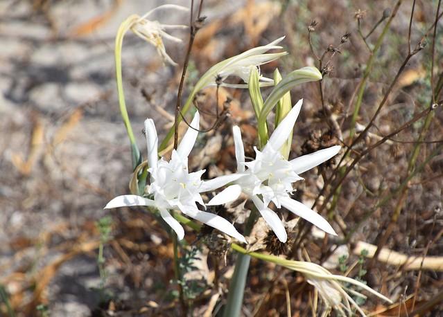 pancratium zeylanicum - Trichternarzisse