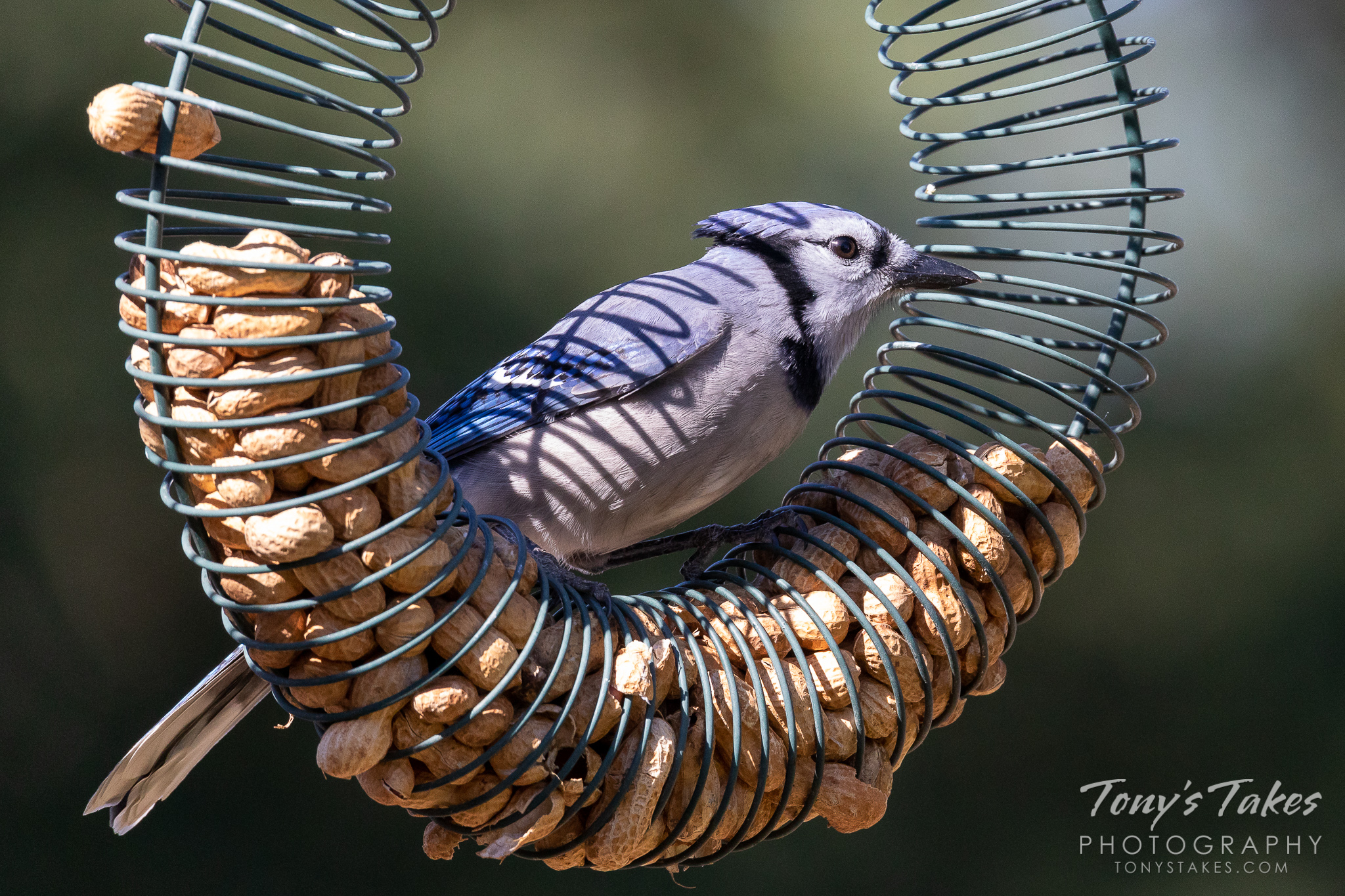 A blue jay hangs out on a feeder in Thornton, Colorado. (© Tony's Takes)
