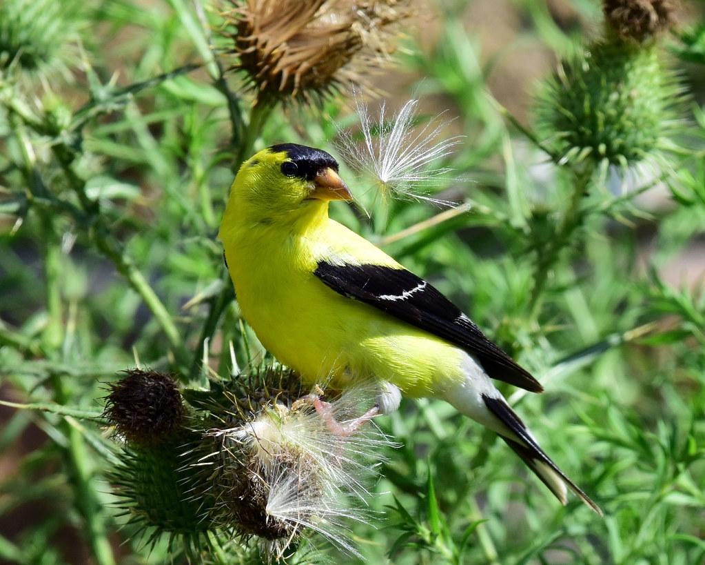 810_2016. American Goldfinch (explored 09-27-19)