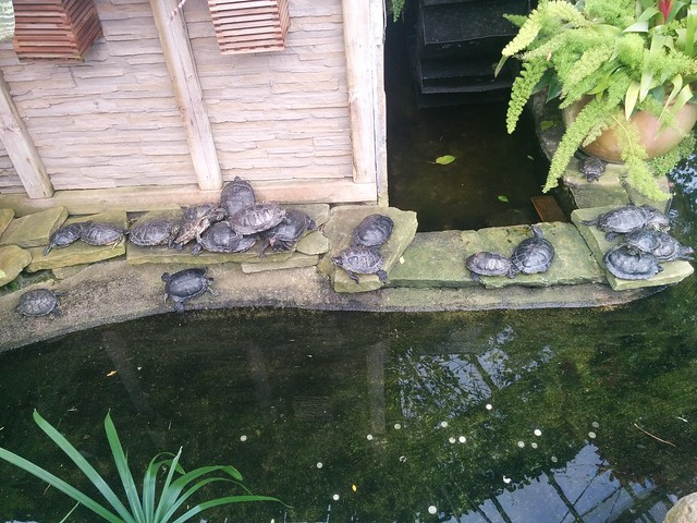 A number of turtles #toronto #gardendistrict #allangardens #turtles #reptiles