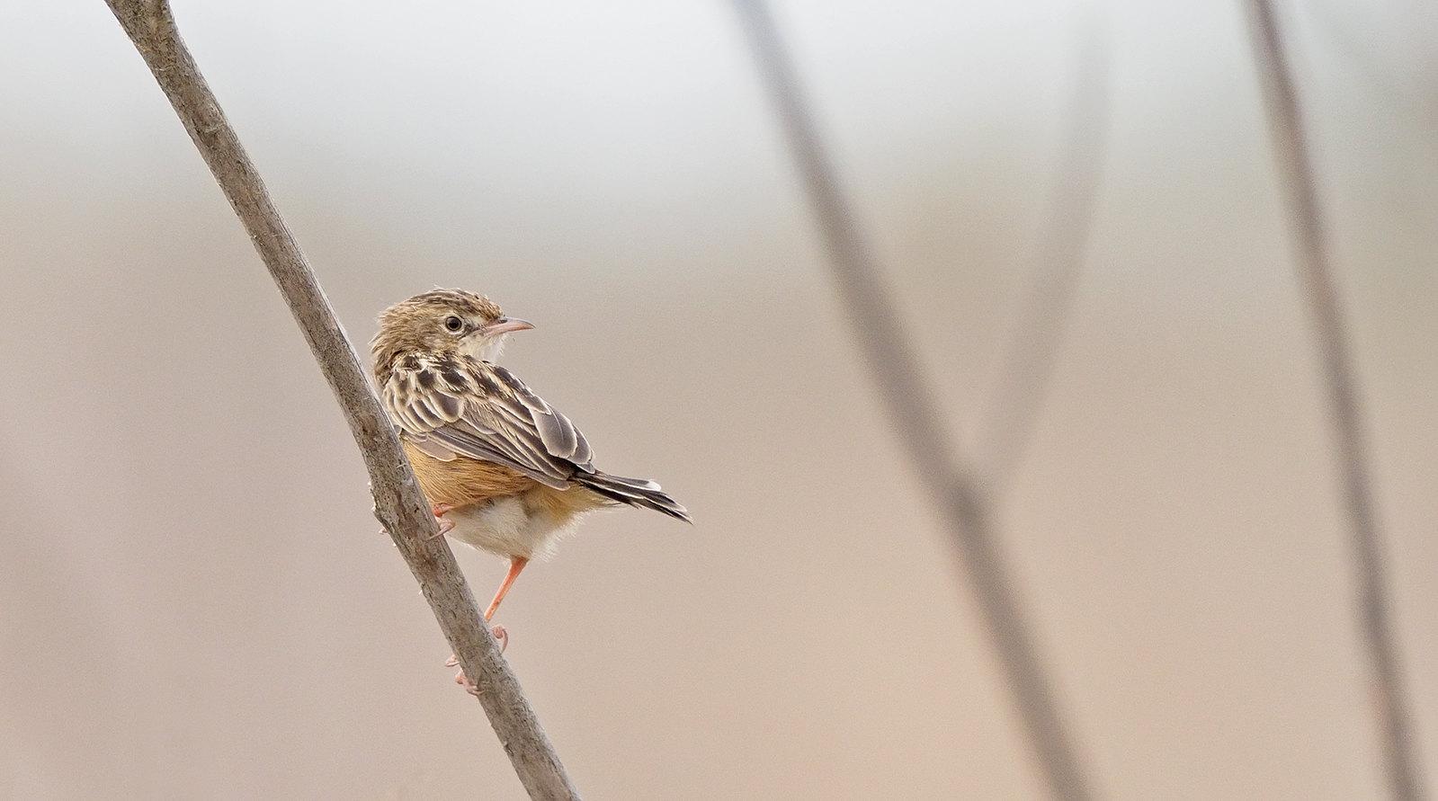 Fan-tailed Warbler?