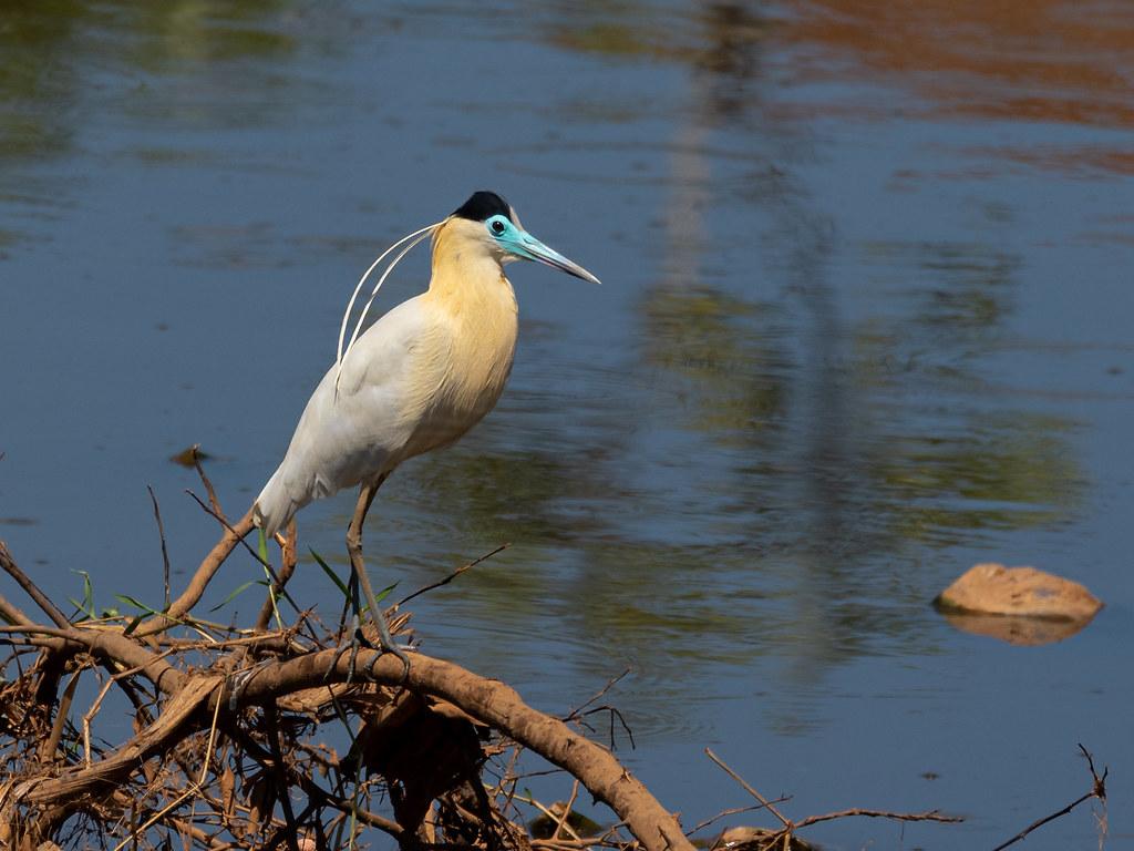 Capped Heron/Garça-real/Garza capirotada (Pilherodius pileatus)