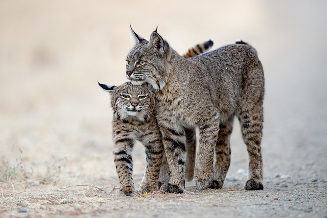 Bobcat with her young