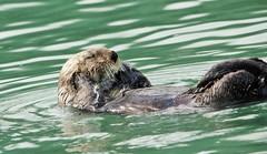 Wild Sea Otter In Cooks Inlet, Alaska (Enhydra lutris)