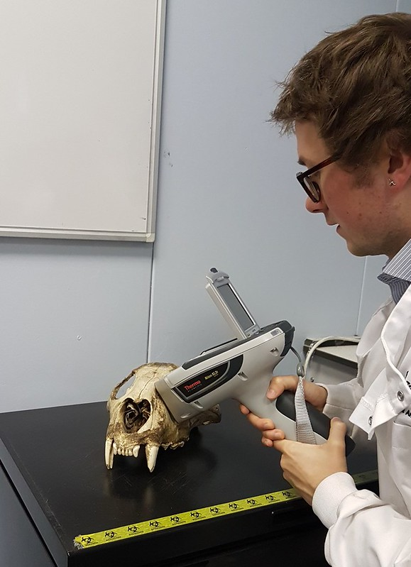 A scientists holds a hand-held XRF machine onto the surface of an animal skull. He needs to hold the machine still for approximately 90 seconds in order for it to read the elemental composition