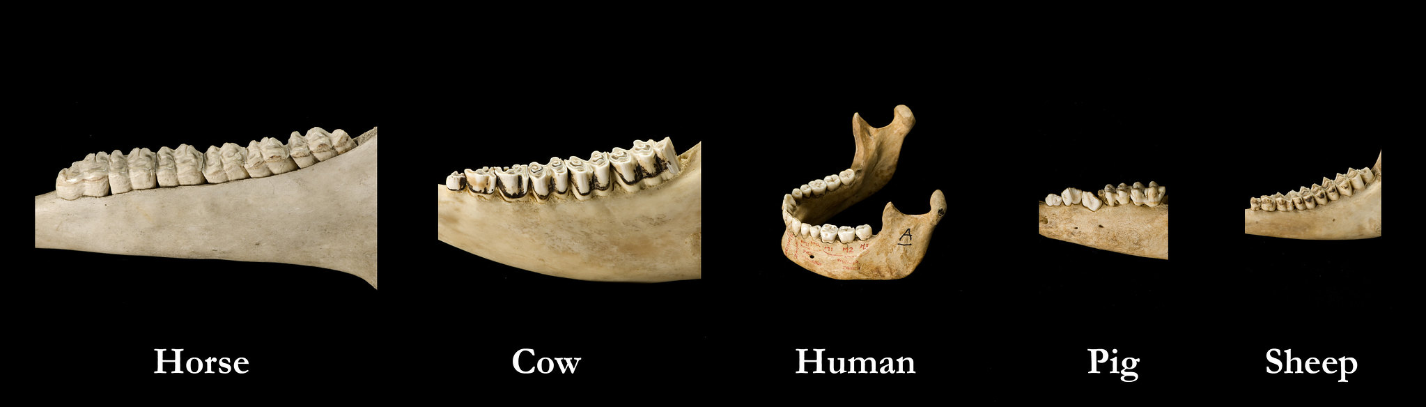 Jaws from five different species horse, cow, human, pig, sheep, to show the differences between them