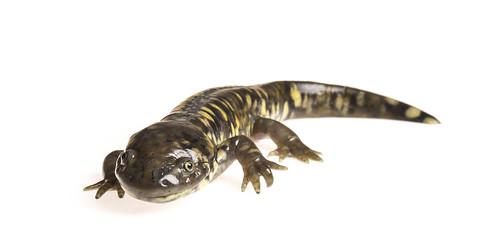 Eastern Tiger Salamander