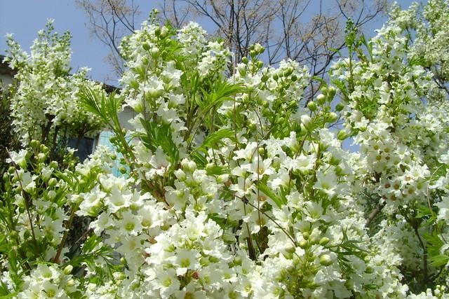 Xanthoceras sorbifolium - Page 2 48803702586_eb223e0996_z