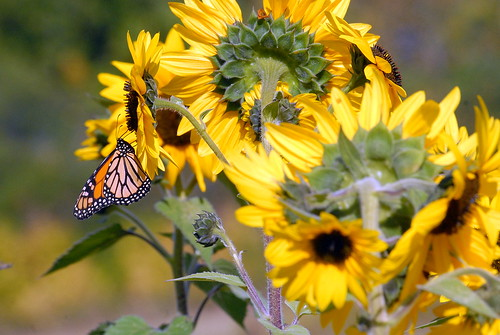 butterfly monarchbutterfly flowers sunflowerrs yellowflowers farm almonte lanarkcounty ontario canada outdoor nikon nature insect flyinginsect