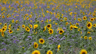 Lady Phacelia in a field with Sunflowers 3607