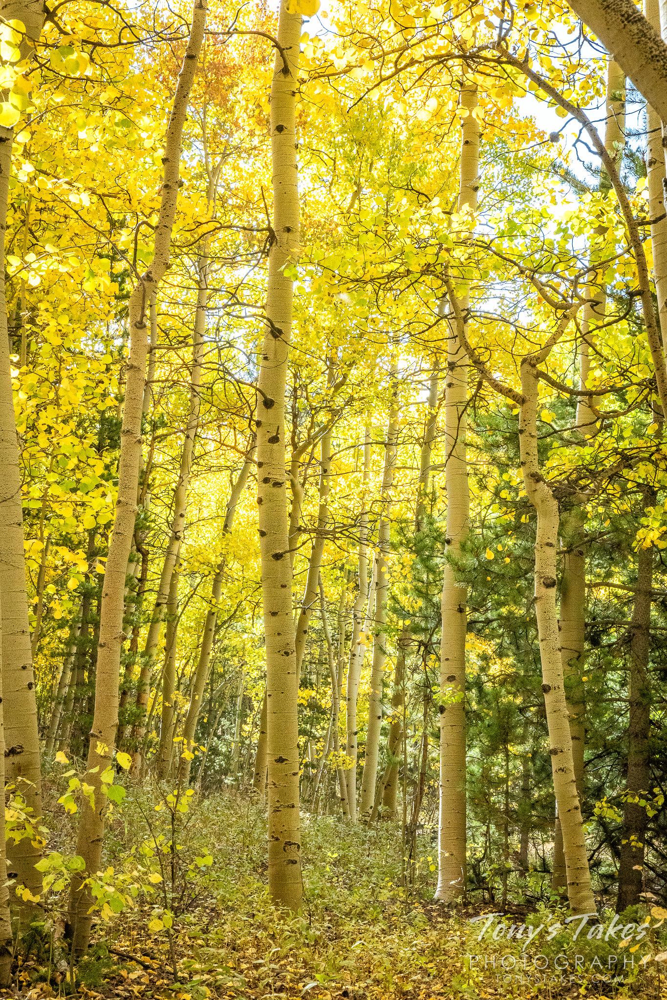 Golden aspen trees in the fall