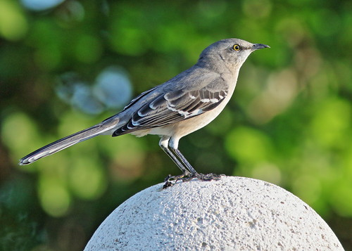 Northern Mockingbird cross-billed 01-20190925