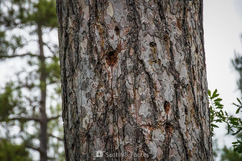 Tronco de pino picoteado por pájaros carpineros en el camino de Coaner