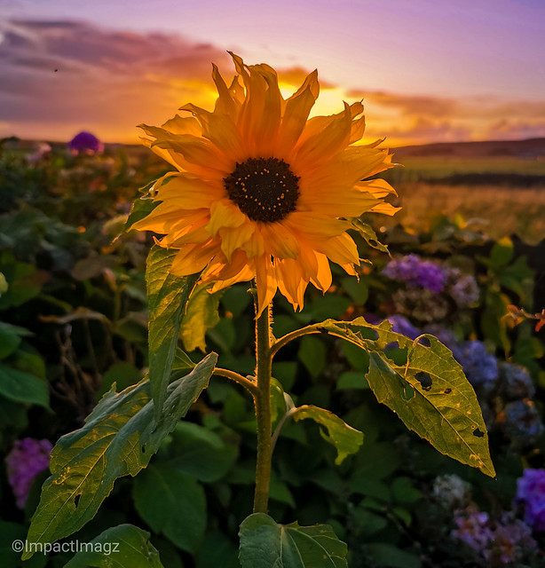 A sunflower at sunset