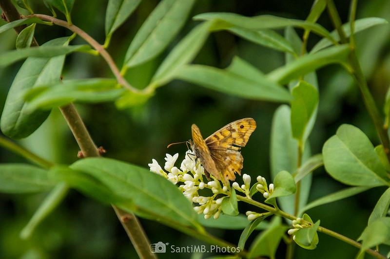 Mariposa de los muros sobre flores de aligustre cerca de la riera de Coaner