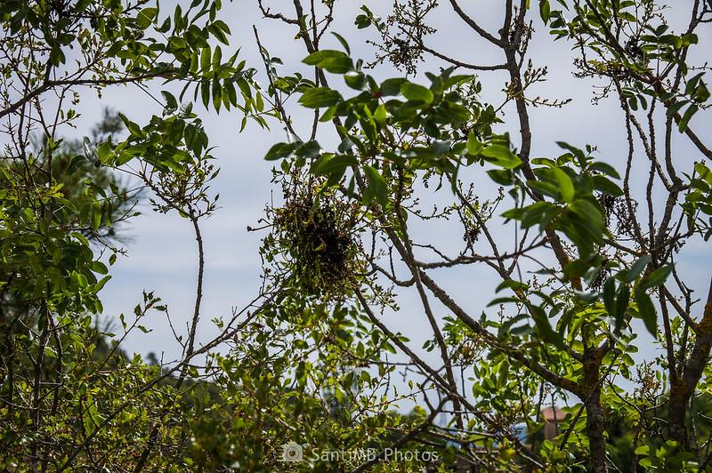 Pistacia tereninthus cerca de Coaner